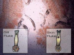 Skin and Gill Flukes